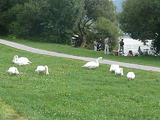 Schwäne in der Naturstation Silberweide. © ringnebel