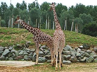 Giraffen im Colchester Zoo © Martin Pettitt