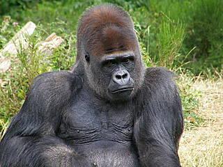 Gorilla im La Vallée des Singes © belgianchocolate